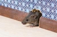"10 Tell ""Tail"" Signs of a Rodent Infestation Image"